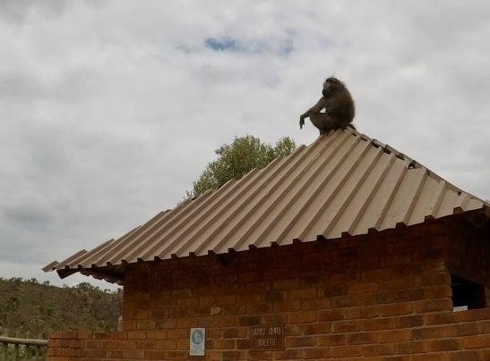 A disdainful baboon